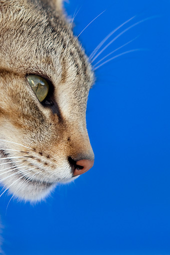 CAT 02 KH0123 01 © Kimball Stock Head Shot Of Tabby Greek Island Cat By Blue Wall Profile