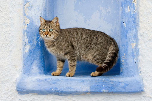 CAT 02 KH0127 01 © Kimball Stock Tabby Greek Island Cat Standing In Blue Wall Alcove