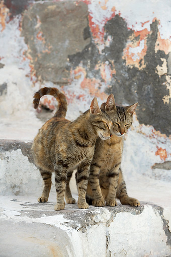 CAT 02 KH0129 01 © Kimball Stock Two Tabby Greek Island Cats Nuzzling