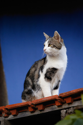 CAT 02 KH0132 01 © Kimball Stock Tabby And White Cat Sitting On Red Roof