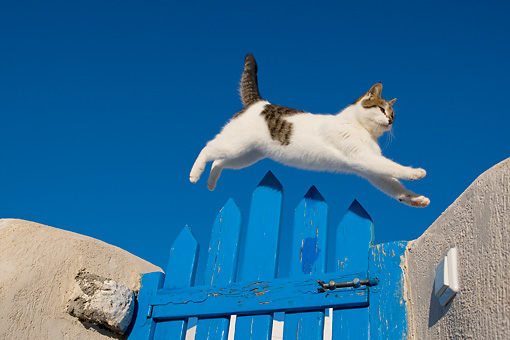 CAT 02 KH0136 01 © Kimball Stock Tabby And White Greek Island Cat Jumping Over Blue Gate