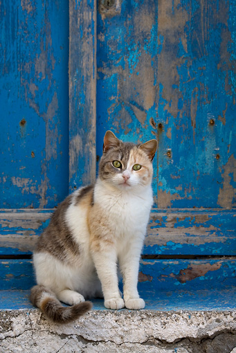 CAT 02 KH0138 01 © Kimball Stock Calico Tabby Greek Island Cat Sitting In Front Of Blue Wooden Door