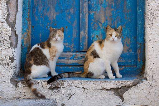 CAT 02 KH0139 01 © Kimball Stock Two Calico Tabby Greek Island Cats Sitting In Front Of Blue Wooden Door
