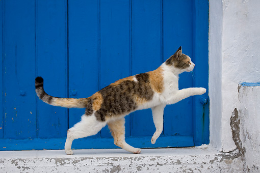 CAT 02 KH0144 01 © Kimball Stock Calico Tabby Greek Island Cat Running By Blue Wooden Door