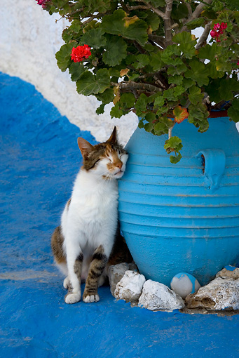CAT 02 KH0150 01 © Kimball Stock Calico Tabby Greek Island Cat Sitting Rubbing Head On Blue Flower Pot