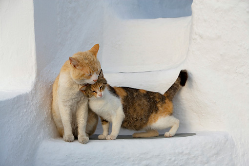 Orange Tabby And Calico Tabby Greek Island Cats Nuzzling On