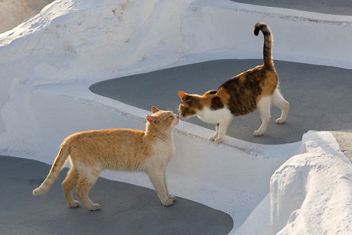 CAT 02 KH0153 01 © Kimball Stock Orange Tabby And Calico Tabby Greek Island Cats Kissing On White Stairs