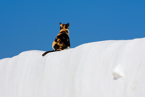 CAT 02 KH0154 01 © Kimball Stock Calico Greek Island Cat Sitting On White Wall Rear View