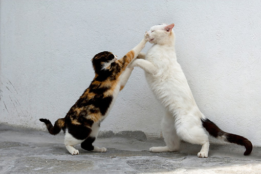 CAT 02 KH0155 01 © Kimball Stock Calico And Black And White Greek Island Cats Fighting By White Wall