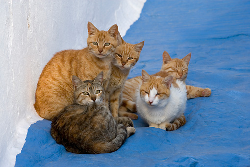 CAT 02 KH0156 01 © Kimball Stock Five Greek Island Tabby Cats Huddling On Blue Ground By White Wall
