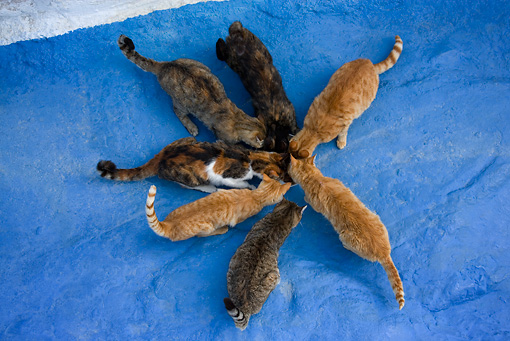 CAT 02 KH0157 01 © Kimball Stock Seven Greek Island Cats Huddling Around Bowl Eating On Blue Ground