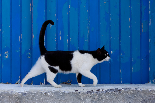 CAT 02 KH0158 01 © Kimball Stock Black And White Greek Island Cat Walking By Blue Wooden Door