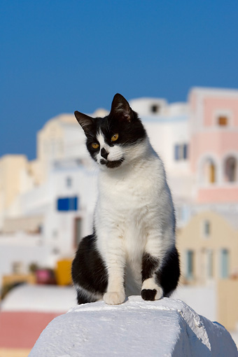 CAT 02 KH0159 01 © Kimball Stock Black And White Greek Island Cat Sitting On White Wall City Background