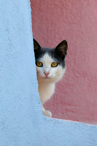 CAT 02 KH0160 01 © Kimball Stock Gray And White Greek Island Cat Peeking Around Wall