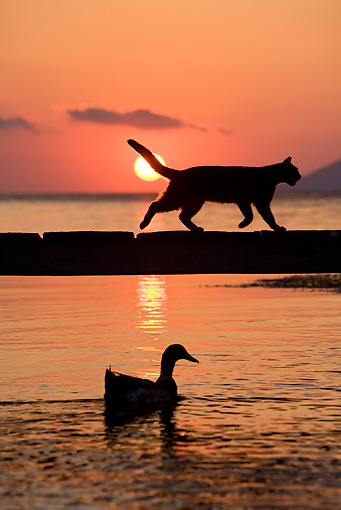 CAT 02 KH0178 01 © Kimball Stock Silhouette Of Greek Island Cat Running On Dock At Sunset Above Duck In Water