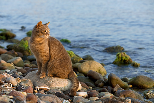 CAT 02 KH0181 01 © Kimball Stock Tabby Greek Island Cat Sitting On Rocky Beach
