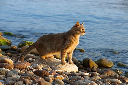 CAT 02 KH0183 01 © Kimball Stock Tabby Greek Island Cat Standing On Rocky Beach