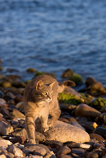 CAT 02 KH0184 01 © Kimball Stock Tabby Greek Island Cat Walking On Rocky Beach
