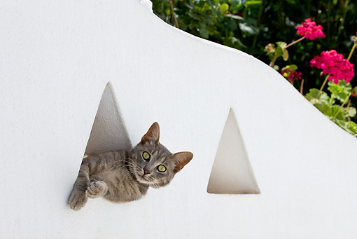 CAT 02 KH0190 01 © Kimball Stock Tabby Greek Island Cat Peeking Out Of Triangle Window In White Garden Wall