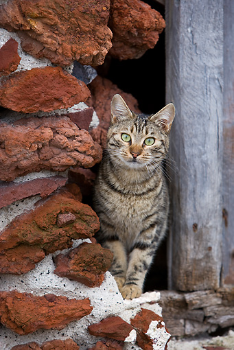 CAT 02 KH0195 01 © Kimball Stock Tabby Greek Island Cat Standing By Red Stone Wall
