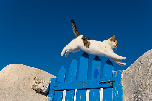 CAT 02 KH0201 01 © Kimball Stock Tabby And White Greek Island Cat Jumping Over Blue Gate