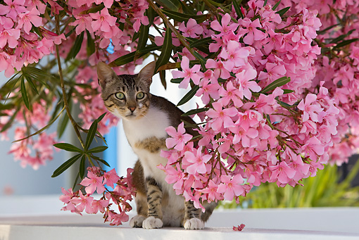 CAT 02 KH0206 01 © Kimball Stock Tabby And White Greek Island Cat Sitting On White Wall By Pink Flowers