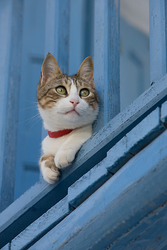 CAT 02 KH0209 01 © Kimball Stock Tabby And White Greek Island Cat Laying On Blue Balcony Peeking Through Railing