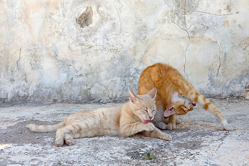 CAT 02 KH0213 01 © Kimball Stock Two Orange Tabby Greek Island Cats Laying On Pavement Grooming