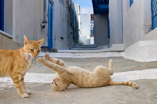 CAT 02 KH0214 01 © Kimball Stock Two Orange Tabby Greek Island Cats Fighting