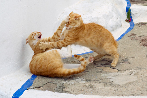 CAT 02 KH0216 01 © Kimball Stock Two Orange Tabby Greek Island Cats Fighting