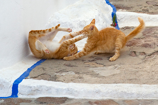 CAT 02 KH0217 01 © Kimball Stock Two Orange Tabby Greek Island Cats Fighting