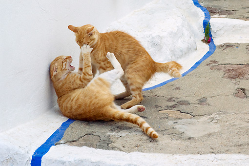 CAT 02 KH0218 01 © Kimball Stock Two Orange Tabby Greek Island Cats Fighting