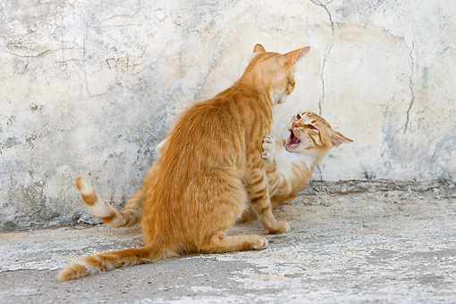 CAT 02 KH0219 01 © Kimball Stock Two Orange Tabby Greek Island Cats Fighting