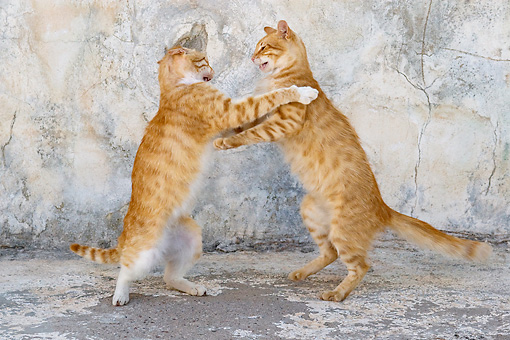CAT 02 KH0220 01 © Kimball Stock Two Orange Tabby Greek Island Cats Fighting