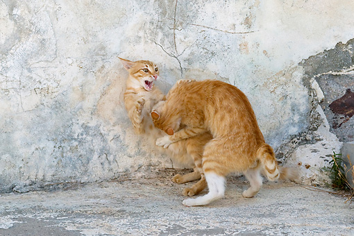 CAT 02 KH0221 01 © Kimball Stock Two Orange Tabby Greek Island Cats Fighting