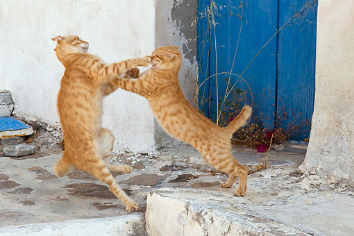 CAT 02 KH0226 01 © Kimball Stock Two Orange Tabby Greek Island Cats Fighting
