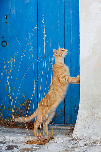 CAT 02 KH0228 01 © Kimball Stock Orange Tabby Greek Island Cat Standing By Wall Looking Up