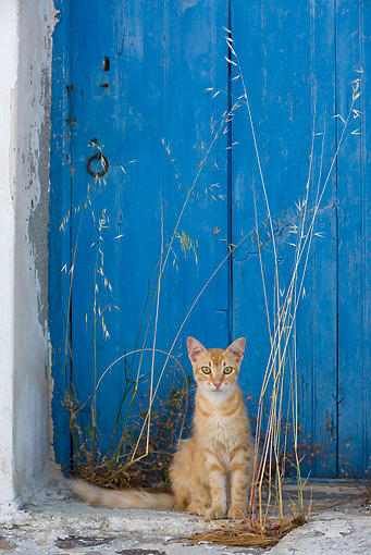 CAT 02 KH0233 01 © Kimball Stock Orange Tabby Greek Island Cat Sitting By Blue Door