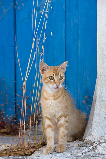 CAT 02 KH0235 01 © Kimball Stock Orange Tabby Greek Island Cat Sitting By Blue Door