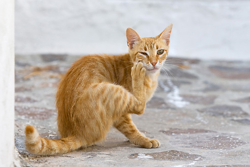 CAT 02 KH0248 01 © Kimball Stock Orange Tabby Greek Island Cat Sitting On Street Scratching Face