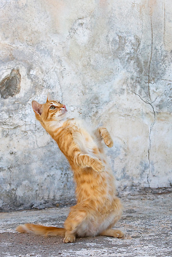 CAT 02 KH0249 01 © Kimball Stock Orange Tabby Greek Island Cat Sitting Up By Wall