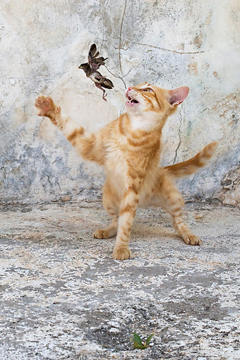 CAT 02 KH0251 01 © Kimball Stock Orange Tabby Greek Island Cat Chasing Bird