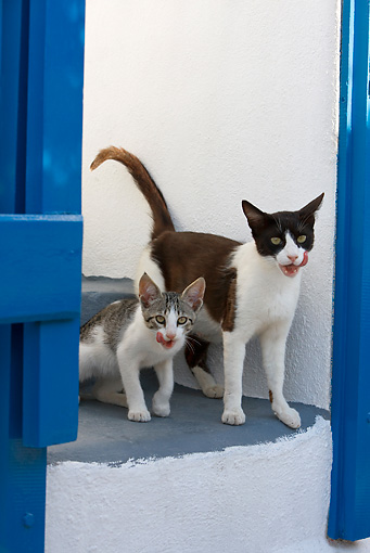 CAT 02 KH0259 01 © Kimball Stock Greek Island Cat And Kitten Standing On Stairs By Blue Gate Licking Mouths