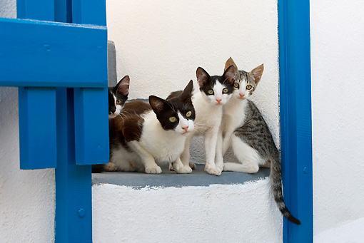 CAT 02 KH0261 01 © Kimball Stock Greek Island Cat And Three Kittens Sitting On Stairs By Blue Gate