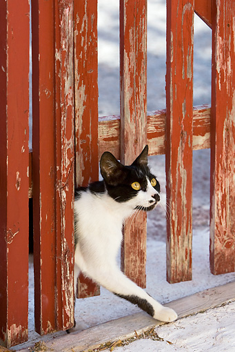 CAT 02 KH0270 01 © Kimball Stock Black And White Greek Island Cat Walking Through Red Gate