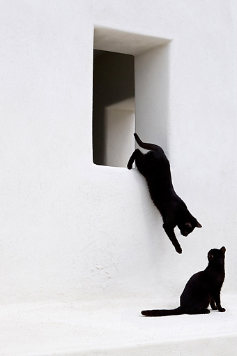 CAT 02 KH0280 01 © Kimball Stock Black Greek Island Cat Jumping Off White Windowsill By Another Black Cat