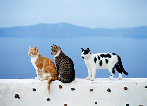 CAT 02 KH0290 01 © Kimball Stock Three Greek Island Cats On White Wall By Ocean