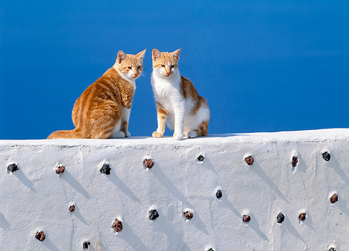 CAT 02 KH0291 01 © Kimball Stock Two Greek Island Cats Sitting On White Wall