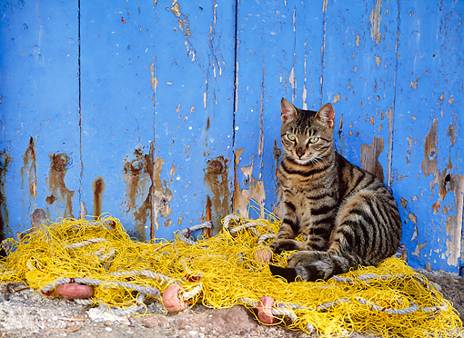 CAT 02 KH0296 01 © Kimball Stock Brown Tabby Greek Island Cat Sitting On Fishing Net By Blue Fence