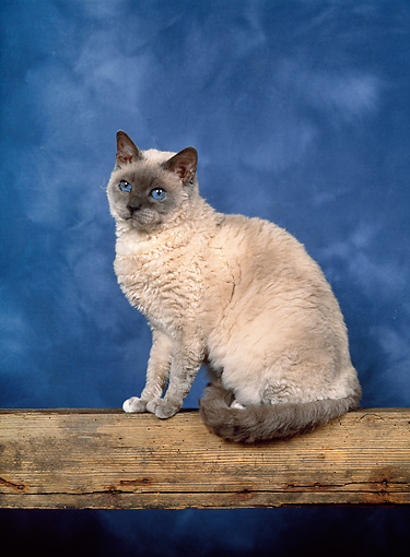 CAT 02 KH0299 01 © Kimball Stock Selkirk Rex Cat Sitting On Log Studio